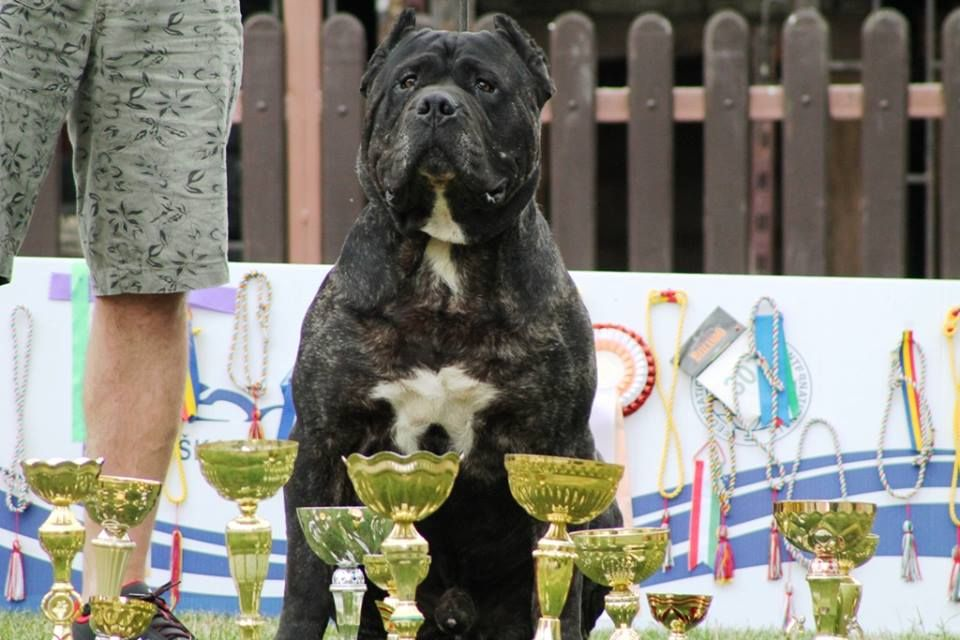 Boss Bull Canario Roy Futher: