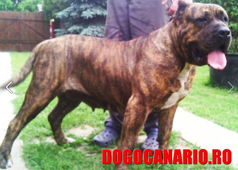 Boss Bull Canario Roy Mother